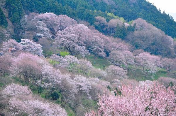 4ひょうたん桜190327