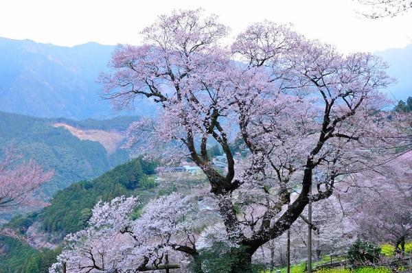 1ひょうたん桜190327