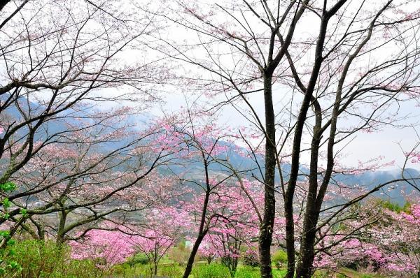 2陽光桜190330