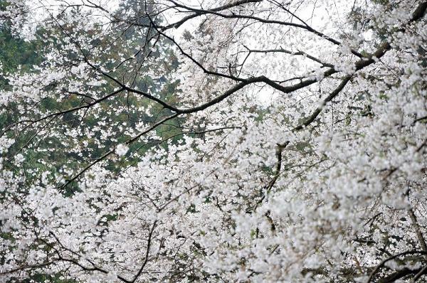 5源太桜190330