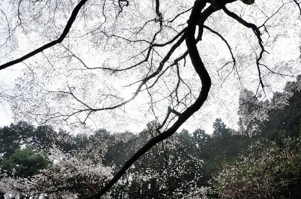 4源太桜190330
