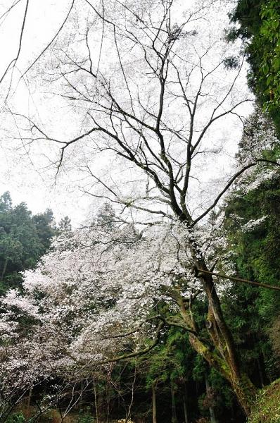 2源太桜190330