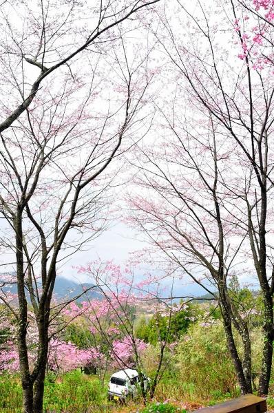 6陽光桜190330