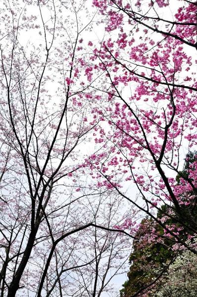 5陽光桜190330