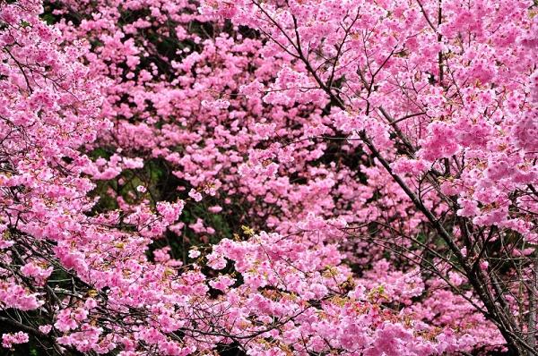 4陽光桜190330